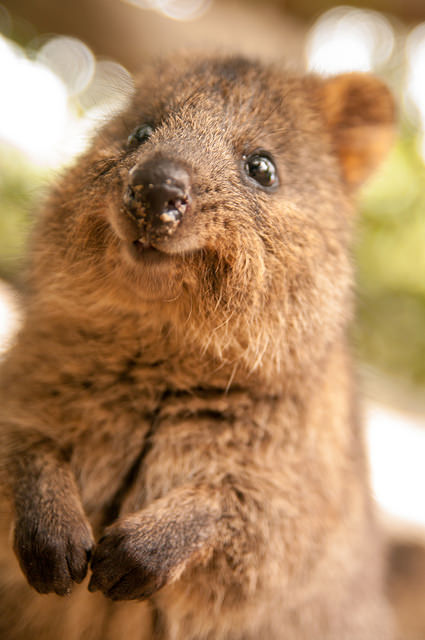 This cute quokka somehow demonstrates great content and product marketing